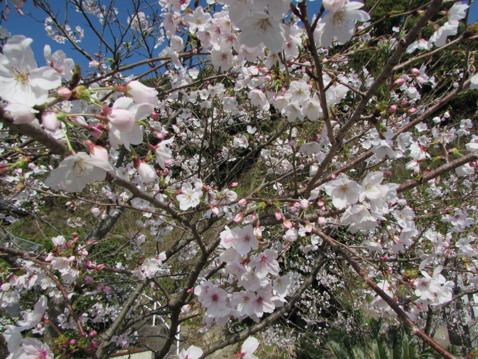 桜(コミセン)